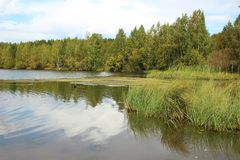 Turzyca na wybrzeżu jezioro obraz stock