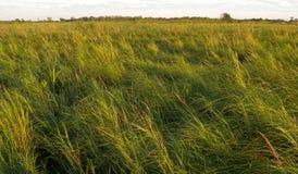 Turzycy łąki bagna Zdjęcia Royalty Free