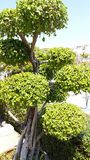 Tusa de Carmonre & x28; vahl& x29; Masam Boraginceae fotos de stock royalty free