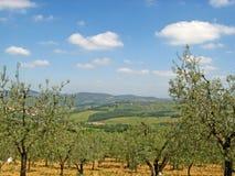 Tuscan άλση ελιών 01 Στοκ Φωτογραφία