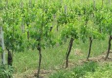 Tuscan σταφύλια στην άμπελο στοκ φωτογραφία με δικαίωμα ελεύθερης χρήσης