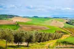 Tuscan Agrucultural landskap Italien, Olive Trees royaltyfri bild