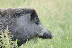 Tuscan Boar Royalty Free Stock Photography