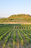 Tuscan chianti vineyards san miniato italy  Stock Photos