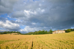 Tuscan cornfield 1 λόφων Στοκ φωτογραφία με δικαίωμα ελεύθερης χρήσης