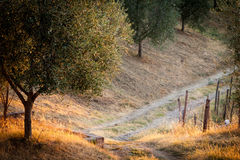 Tuscan country with olive tree at sunrise Stock Photography