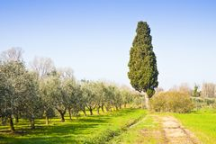 Tuscan countryside with olive grove and cypress tree.  Royalty Free Stock Photo