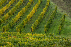 Tuscan countryside with vineyard Stock Photos