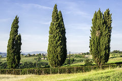 Tuscan cypress tree Royalty Free Stock Images