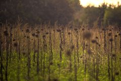 Tuscan Fields. In Italy during a warm summer evening Royalty Free Stock Image