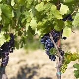 Tuscan grapes Stock Images