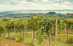 Tuscan grapes Royalty Free Stock Photography