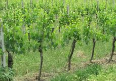 Tuscan grapes on the vine Royalty Free Stock Photography