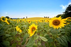 Tuscan Hill With Sunflowers And Cypress. Tuscan Landscape Between Siena And Florence. Italy Royalty Free Stock Images