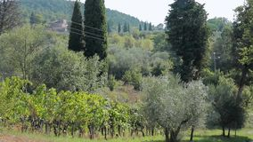 Tuscan hills, a vineyard in the village of Chianti region. Nature stock footage