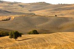 Tuscan kullar med olivträd på solnedgången i Italien royaltyfri bild