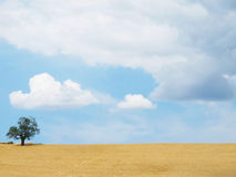 Tuscan landscape. Lone tree in a wheat field in tuscany Stock Photos