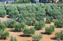 Tuscan landscape with olives trees. Stock Images