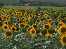 Tuscan Landscape sunflower field background small village. Sunflowers in a field in the Tuscan Wine region. Some cloudy weather but still beautiful Royalty Free Stock Photography