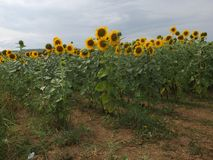 Tuscan Landscape sunflower field. Sunflowers in a field in the Tuscan Wine region. Some cloudy weather but still beautiful Royalty Free Stock Photo