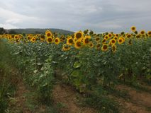 Tuscan Landscape sunflower field. Sunflowers in a field in the Tuscan Wine region. Some cloudy weather but still beautiful Royalty Free Stock Image