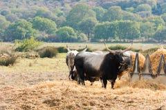 Tuscan Maremma cows Royalty Free Stock Photography