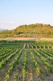 Tuscan miniato Ιταλία αμπελώνων SAN chianti   στοκ φωτογραφίες