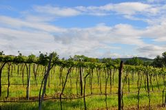 Tuscan  New vineyards and sky Royalty Free Stock Images
