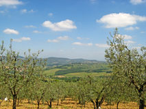 Tuscan Olive Groves 01 Stock Photography