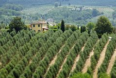 Tuscan olive trees Royaltyfri Foto