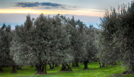Tuscan olive trees and landscape fields in the area of Florence Stock Photo