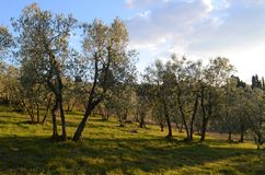 Tuscan olive trees and landscape fields in the area of Florence Royalty Free Stock Images