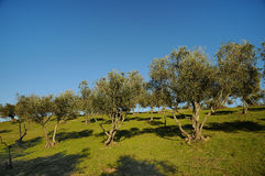 Tuscan olive trees and landscape fields in the area of Florence Royalty Free Stock Photos