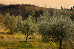 Tuscan olive trees and landscape fields in the area of Florence Stock Photos