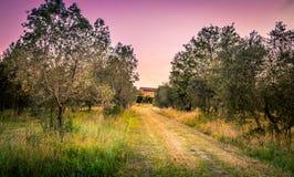 Tuscan olivgrönt fält Royaltyfri Foto
