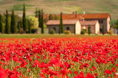 Tuscan red poppies. Field of red poppies in the morning near Pienza, Tuscany Royalty Free Stock Image
