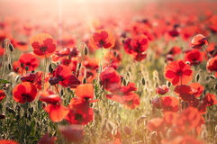 Tuscan red poppies Royalty Free Stock Images