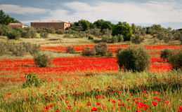 Tuscan red poppies Stock Image