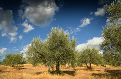 Tuscan rural landscape. Beautiful Olive Trees with Blue Cloudy Sky. Summer Season, Tuscany. Royalty Free Stock Photo