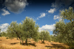 Tuscan rural landscape. Beautiful Olive Trees with Blue Cloudy Sky. Summer Season, Tuscany. Royalty Free Stock Image