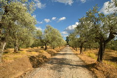 Tuscan rural landscape. Beautiful Olive Trees with Blue Cloudy Sky. Summer Season, Tuscany. Stock Image