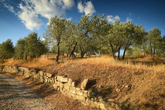 Tuscan rural landscape. Beautiful Olive Trees with Blue Cloudy Sky. Summer Season, Tuscany. Stock Photo