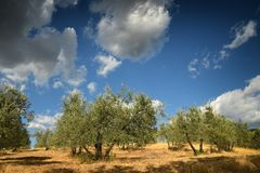 Tuscan rural landscape. Beautiful Olive Trees with Blue Cloudy Sky. Summer Season, Tuscany. Royalty Free Stock Photos