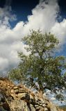 Tuscan rural landscape. Beautiful Olive Trees with Blue Cloudy Sky. Summer Season, Tuscany. Royalty Free Stock Images