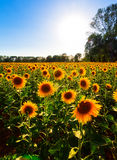 Tuscan sunflowers Stock Photos