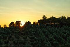 Tuscan sunset on olive grow stock image