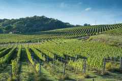 Tuscan vineyard early autumn with small stone hut 3 Royalty Free Stock Photo