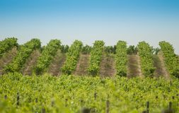 Tuscan vineyard stock photography