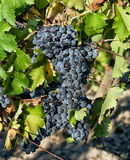 Tuscan vineyard with red grapes. Stock Photography