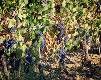 Tuscan vineyard with red grapes. Royalty Free Stock Photography